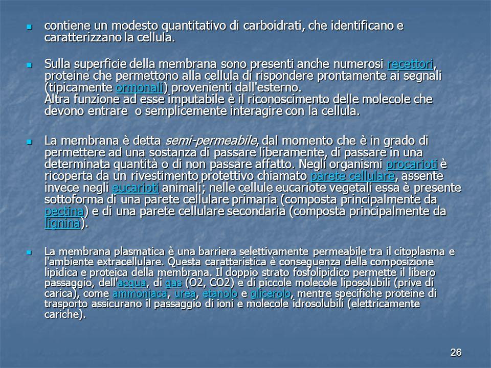 26 contiene un modesto quantitativo di carboidrati, che identificano e caratterizzano la cellula. contiene un modesto quantitativo di carboidrati, che