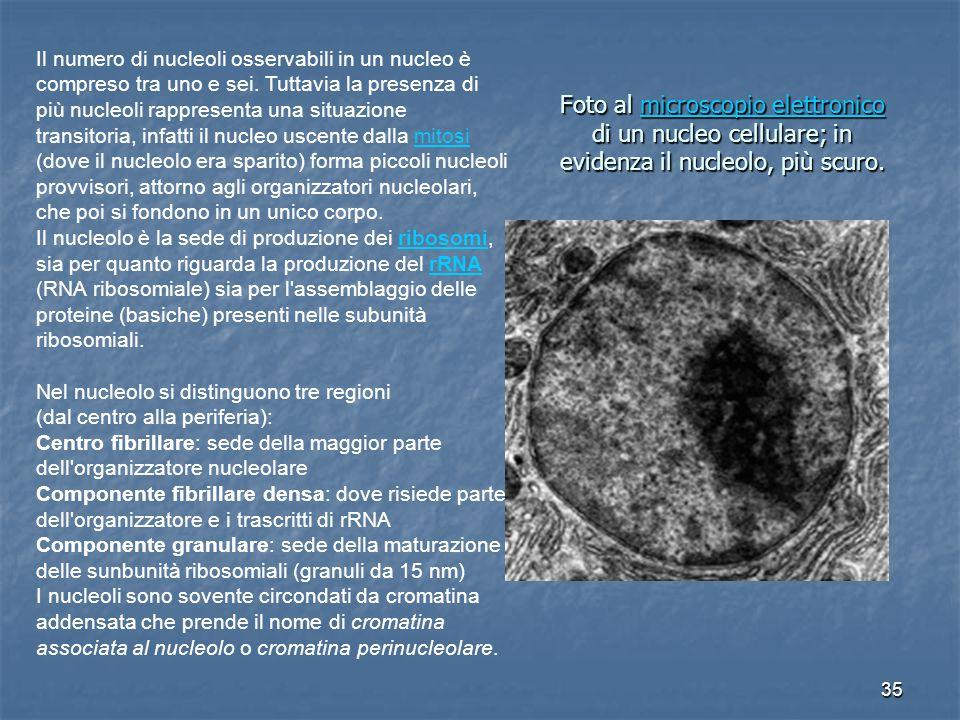 35 Foto al microscopio elettronico di un nucleo cellulare; in evidenza il nucleolo, più scuro.