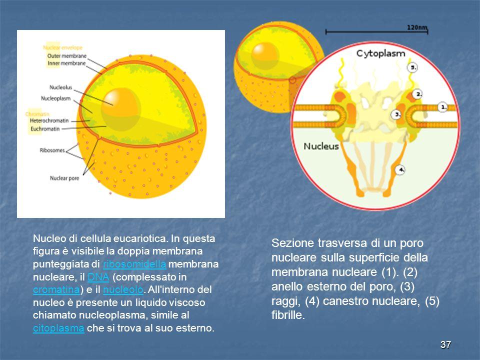 37 Nucleo di cellula eucariotica. In questa figura è visibile la doppia membrana punteggiata di ribosomidella membrana nucleare, il DNA (complessato i