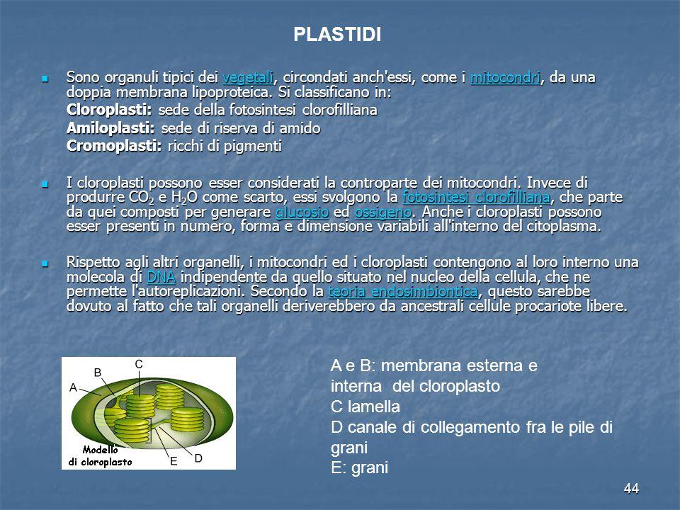 44 Sono organuli tipici dei vegetali, circondati anch'essi, come i mitocondri, da una doppia membrana lipoproteica. Si classificano in: Sono organuli