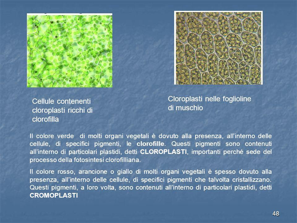 48 Cellule contenenti cloroplasti ricchi di clorofilla Cloroplasti nelle foglioline di muschio Il colore verde di molti organi vegetali è dovuto alla presenza, all'interno delle cellule, di specifici pigmenti, le clorofille.