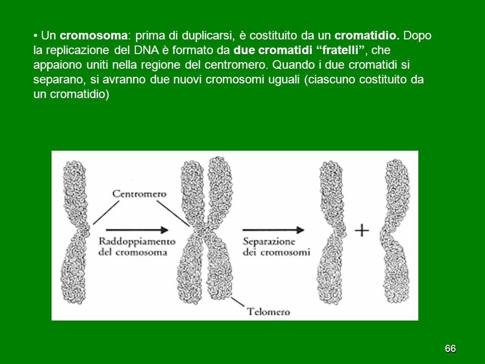 """66 Un cromosoma: prima di duplicarsi, è costituito da un cromatidio. Dopo la replicazione del DNA è formato da due cromatidi """"fratelli"""", che appaiono"""