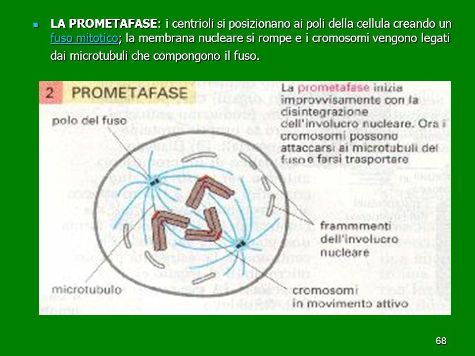 68 LA PROMETAFASE: i centrioli si posizionano ai poli della cellula creando un fuso mitotico; la membrana nucleare si rompe e i cromosomi vengono legati dai microtubuli che compongono il fuso.
