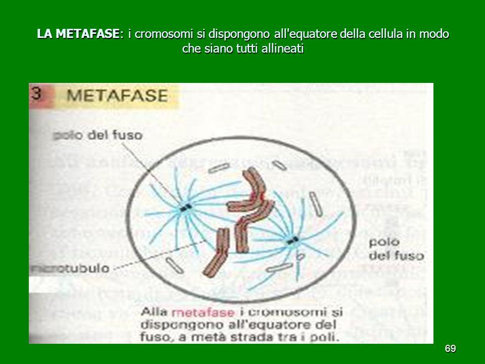 69 LA METAFASE: i cromosomi si dispongono all equatore della cellula in modo che siano tutti allineati