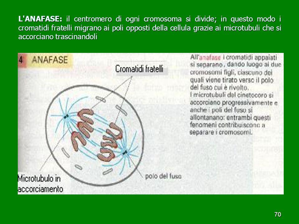 70 L ANAFASE: il centromero di ogni cromosoma si divide; in questo modo i cromatidi fratelli migrano ai poli opposti della cellula grazie ai microtubuli che si accorciano trascinandoli