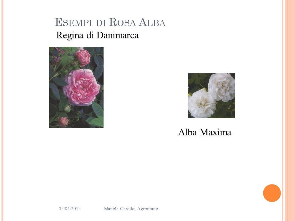 05/04/2015Manola Carollo, Agronomo 7 Rose de Rescht Conte de Chambord E SEMPI DI ROSE GALLICA E DAMASCO
