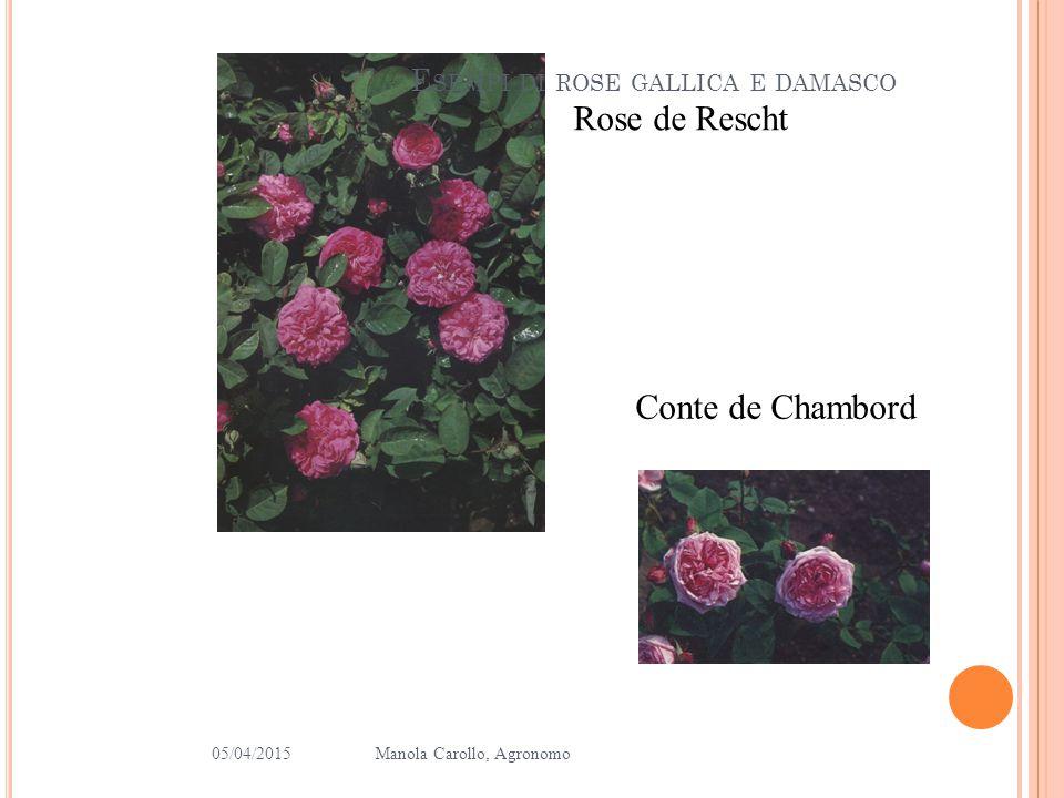 E SEMPI DI ROSE CENTIFOLIE 05/04/2015Manola Carollo, Agronomo 8 Muscosa Fantin Latour Chapeau de Napoleon