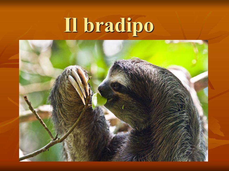 Il bradipo