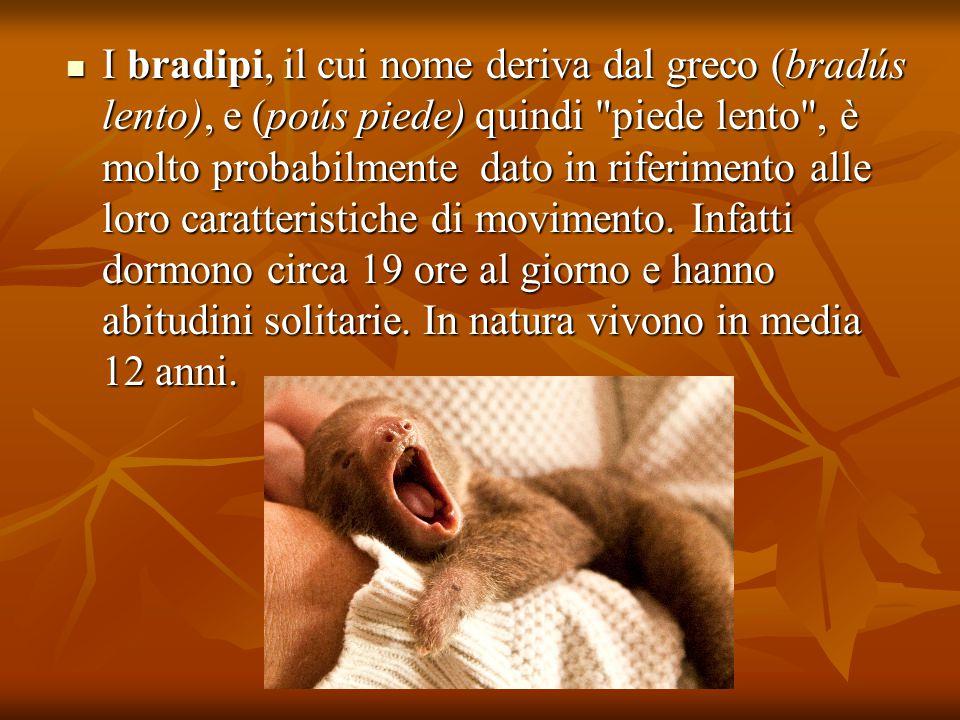 I bradipi, il cui nome deriva dal greco (bradús lento), e (poús piede) quindi