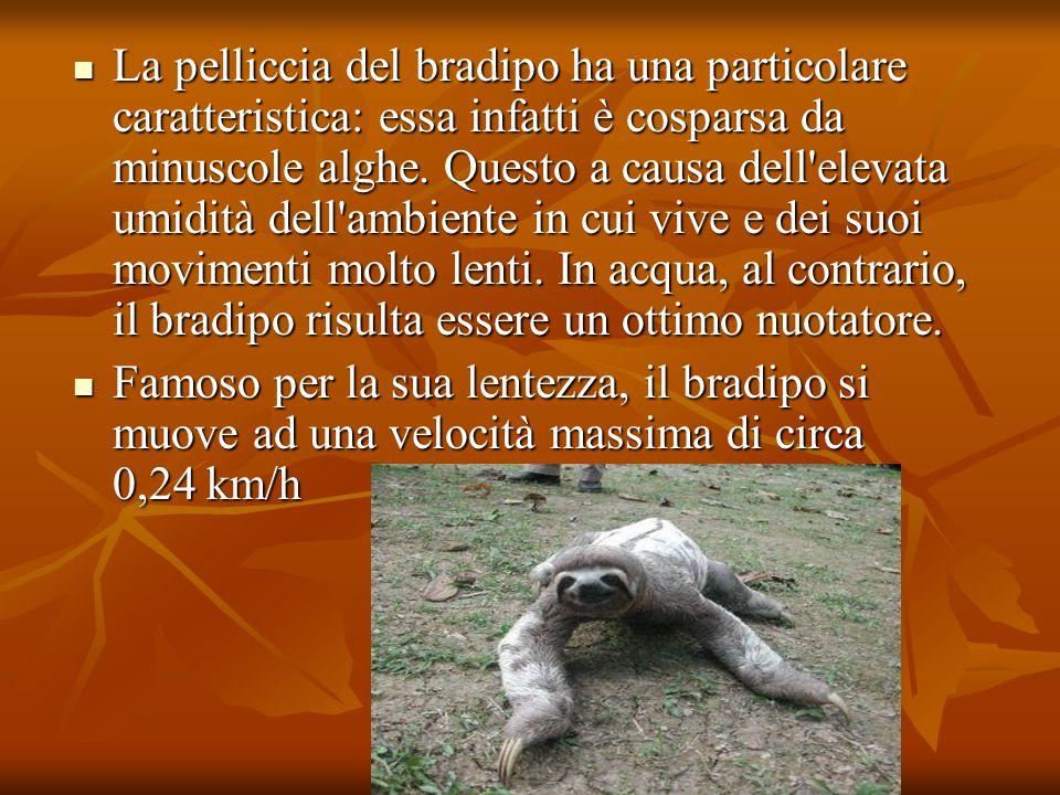 La pelliccia del bradipo ha una particolare caratteristica: essa infatti è cosparsa da minuscole alghe. Questo a causa dell'elevata umidità dell'ambie