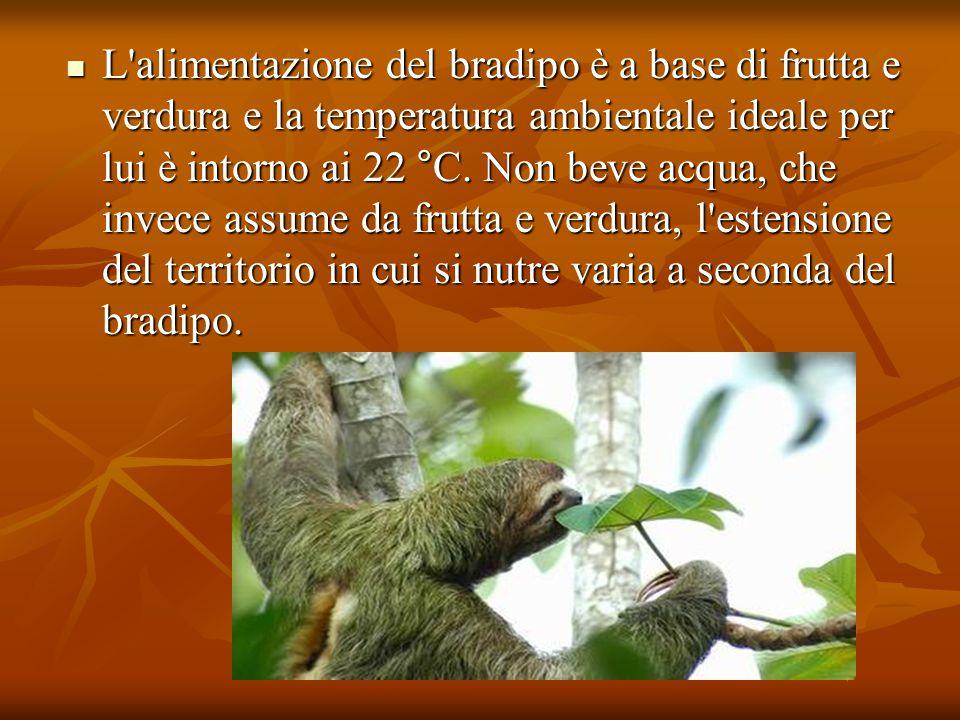 L'alimentazione del bradipo è a base di frutta e verdura e la temperatura ambientale ideale per lui è intorno ai 22 °C. Non beve acqua, che invece ass