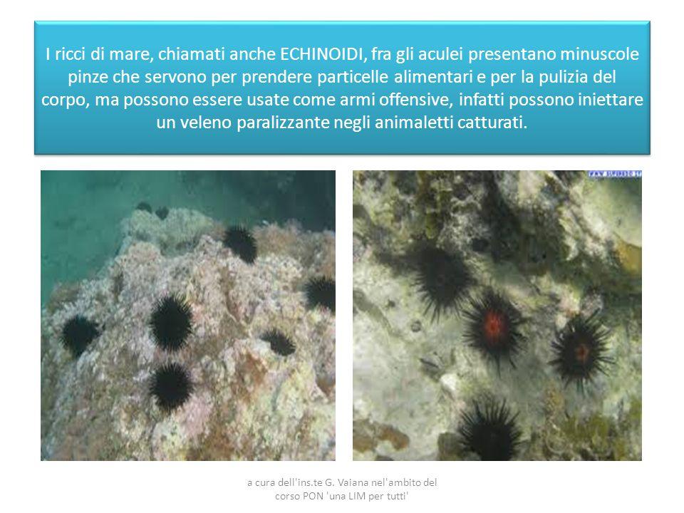 I ricci di mare, chiamati anche ECHINOIDI, fra gli aculei presentano minuscole pinze che servono per prendere particelle alimentari e per la pulizia d