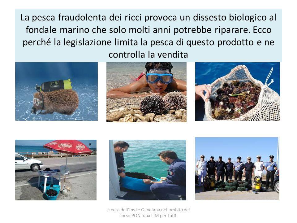 La pesca fraudolenta dei ricci provoca un dissesto biologico al fondale marino che solo molti anni potrebbe riparare. Ecco perché la legislazione limi