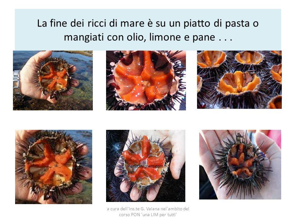 La fine dei ricci di mare è su un piatto di pasta o mangiati con olio, limone e pane... a cura dell'ins.te G. Vaiana nel'ambito del corso PON 'una LIM