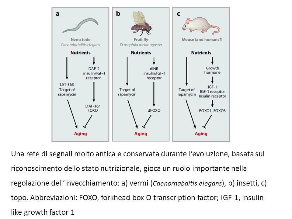Una rete di segnali molto antica e conservata durante l'evoluzione, basata sul riconoscimento dello stato nutrizionale, gioca un ruolo importante nell