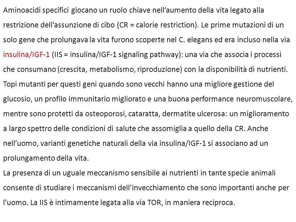 Aminoacidi specifici giocano un ruolo chiave nell'aumento della vita legato alla restrizione dell'assunzione di cibo (CR = calorie restriction). Le pr