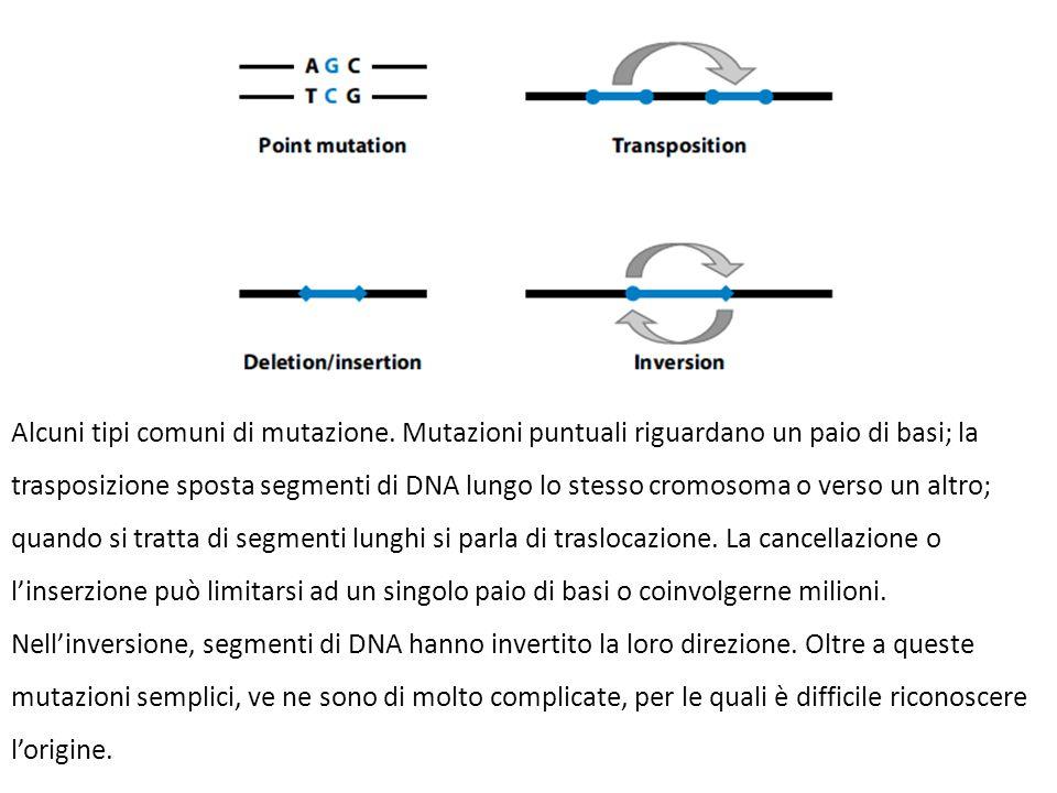 Alcuni tipi comuni di mutazione. Mutazioni puntuali riguardano un paio di basi; la trasposizione sposta segmenti di DNA lungo lo stesso cromosoma o ve
