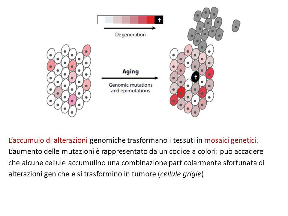 L'accumulo di alterazioni genomiche trasformano i tessuti in mosaici genetici. L'aumento delle mutazioni è rappresentato da un codice a colori: può ac