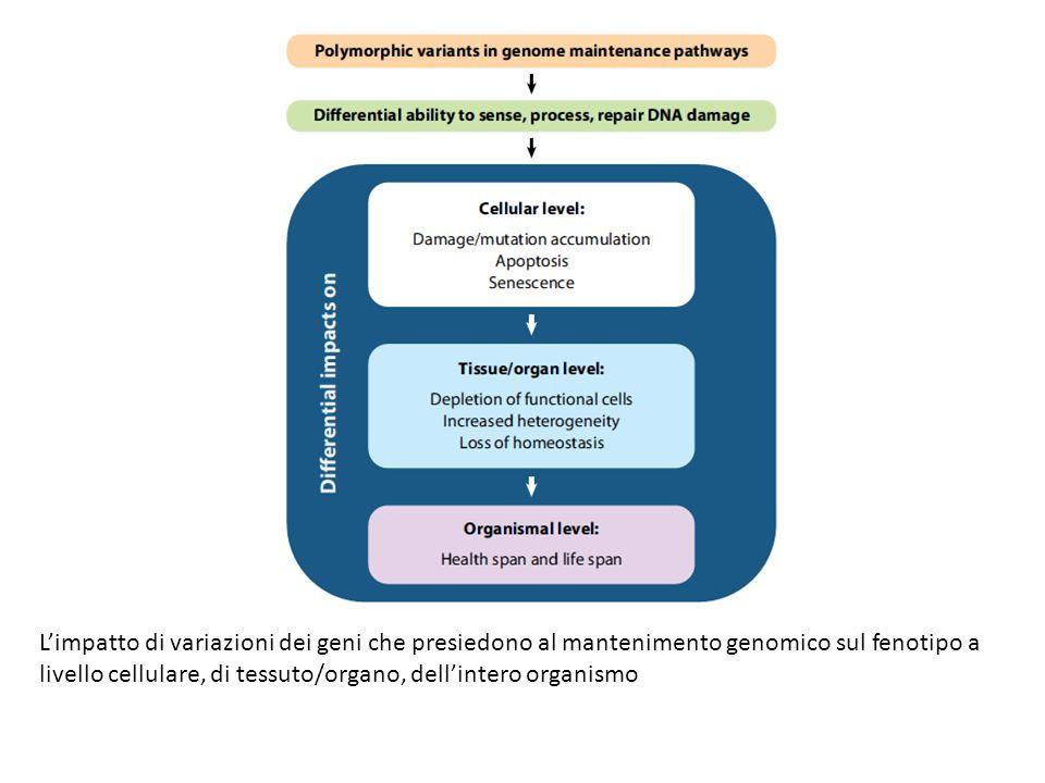 L'impatto di variazioni dei geni che presiedono al mantenimento genomico sul fenotipo a livello cellulare, di tessuto/organo, dell'intero organismo