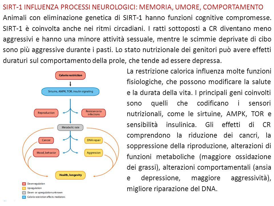 SIRT-1 INFLUENZA PROCESSI NEUROLOGICI: MEMORIA, UMORE, COMPORTAMENTO Animali con eliminazione genetica di SIRT-1 hanno funzioni cognitive compromesse.