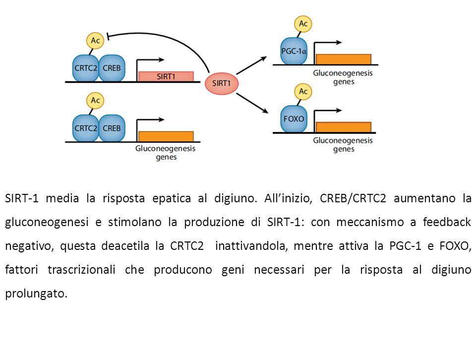 SIRT-1 media la risposta epatica al digiuno. All'inizio, CREB/CRTC2 aumentano la gluconeogenesi e stimolano la produzione di SIRT-1: con meccanismo a