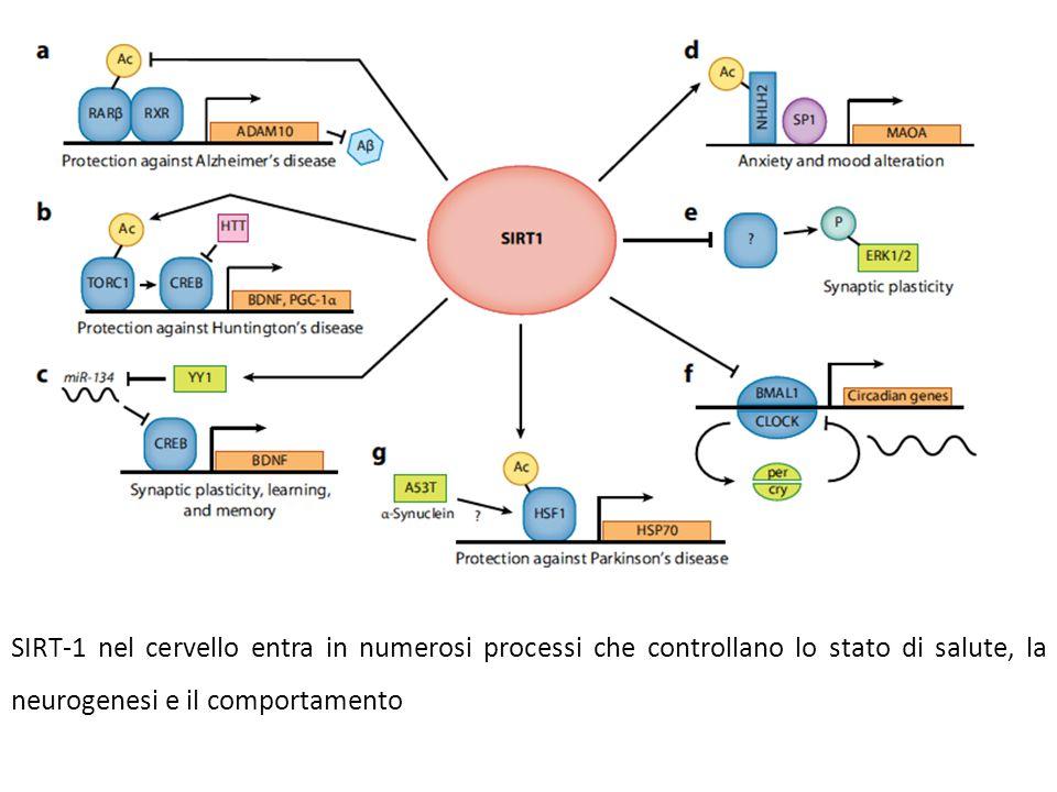 SIRT-1 nel cervello entra in numerosi processi che controllano lo stato di salute, la neurogenesi e il comportamento