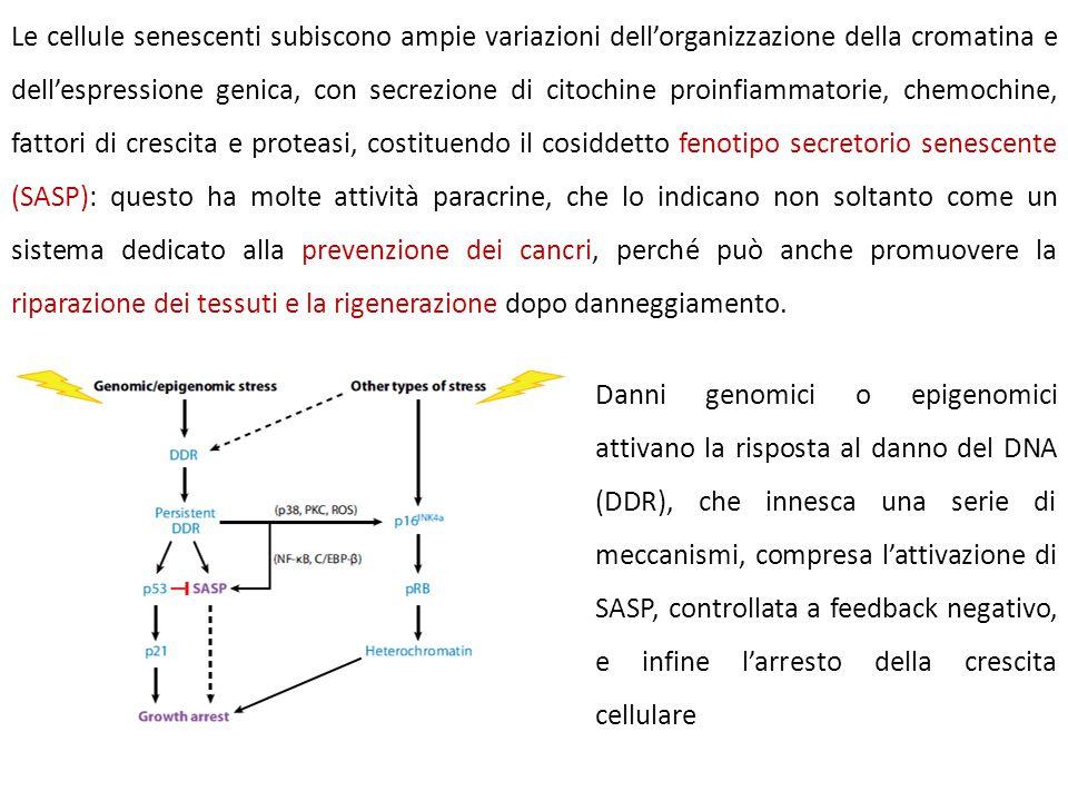 Le cellule senescenti subiscono ampie variazioni dell'organizzazione della cromatina e dell'espressione genica, con secrezione di citochine proinfiamm