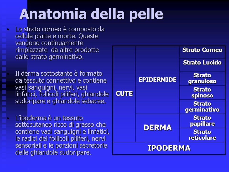 Anatomia della pelle Lo strato corneo è composto da cellule piatte e morte. Queste vengono continuamente rimpiazzate da altre prodotte dallo strato ge