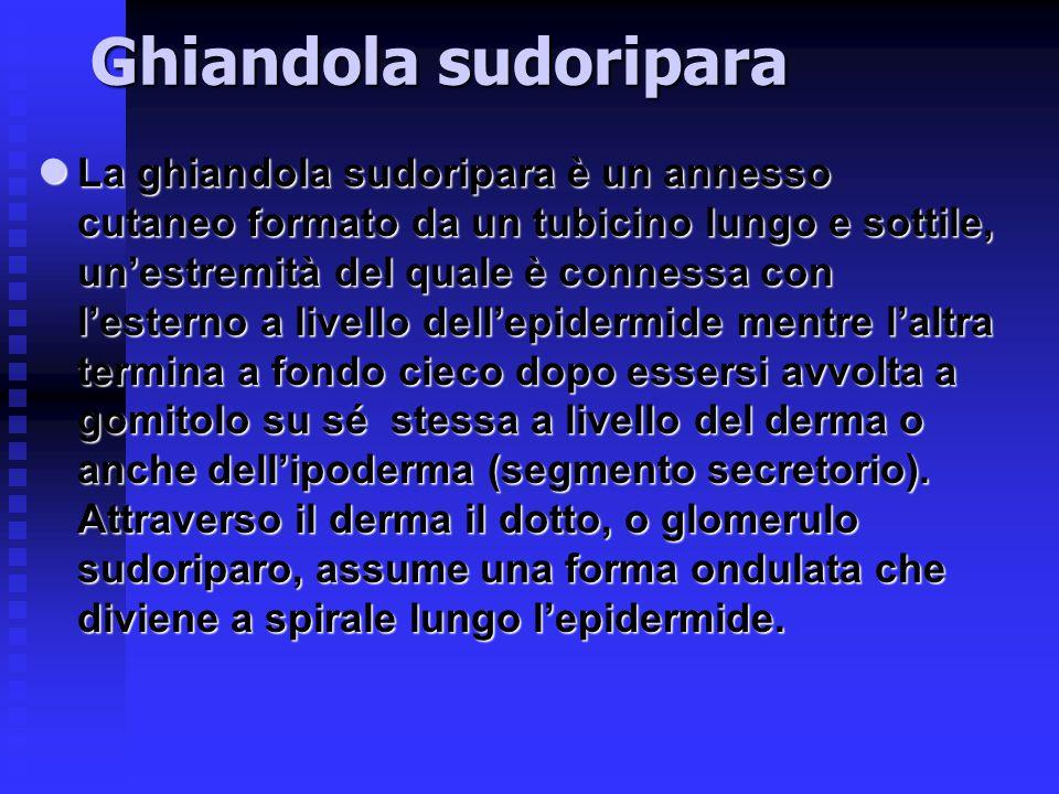 Ghiandola sudoripara La ghiandola sudoripara è un annesso cutaneo formato da un tubicino lungo e sottile, un'estremità del quale è connessa con l'este