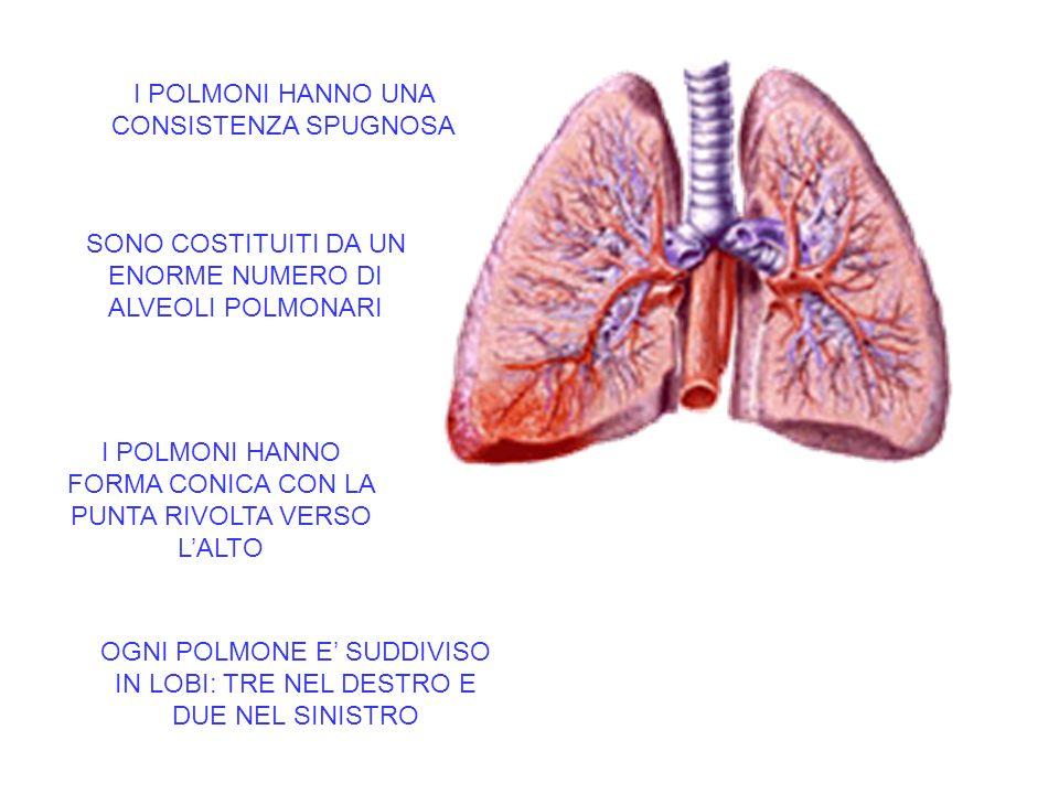 La trachea si biforca nei BRONCHI SINISTRO DESTRO Ciascun bronco entra nel polmone e si ramifica in BRONCHIOLI