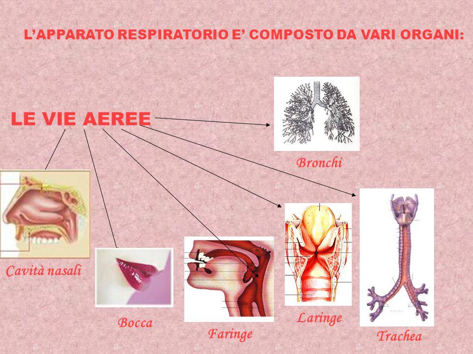 L'APPARATO RESPIRATORIO E' COMPOSTO DA VARI ORGANI: LE VIE AEREE Cavità nasali Bocca Faringe Laringe Trachea Bronchi