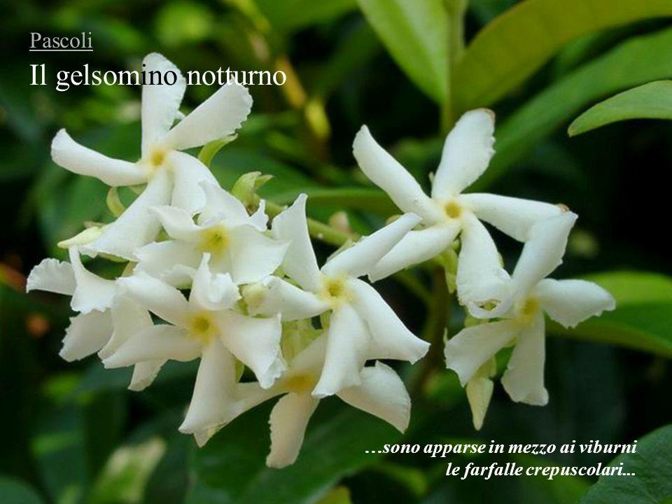 Il gelsomino notturno Pascoli …sono apparse in mezzo ai viburni le farfalle crepuscolari...