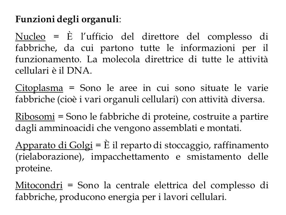 Funzioni degli organuli : Nucleo = È l'ufficio del direttore del complesso di fabbriche, da cui partono tutte le informazioni per il funzionamento. La