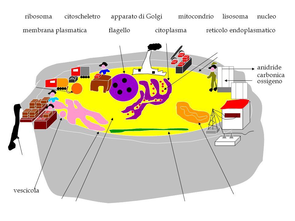 vescicola ossigeno anidride carbonica nucleo reticolo endoplasmatico ribosoma membrana plasmatica lisosomamitocondriocitoscheletro citoplasma apparato
