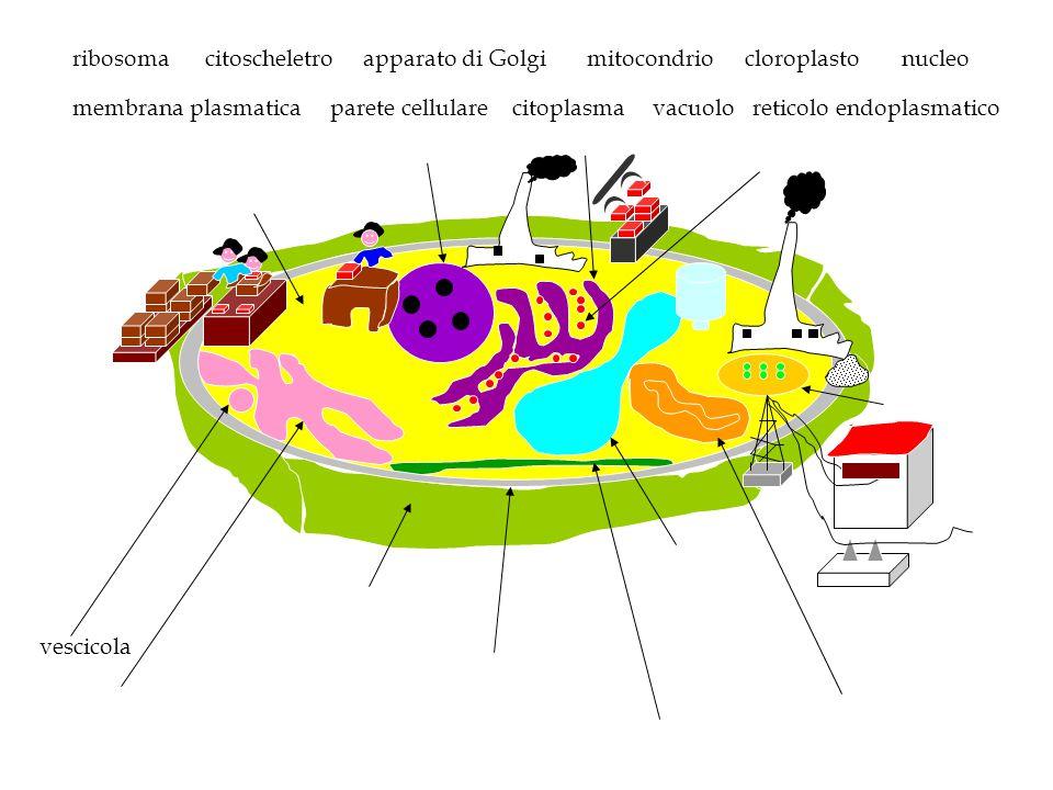 Nucleo Membrana cellulare Citoplasma Parete cellulare Reticolo endoplasmatico Mitocondri Cloroplasti Ribosomi Vacuolo Apparato di Golgi Lisosomi Citoscheletro Centrioli Mette in comunicazione le varie parti della cellula Modifica e smista le molecole prodotte dal reticolo endoplasmatico Contiene acqua, sostanze nutritive o prodotti di rifiuto Sostanza gelatinosa formata da acqua, sali minerali e sostanze organiche Circonda la cellula e regola il passaggio di sostanze dentro e fuori la cellula Contiene i cromosomi e dirige le attività della cellula Sono la sede della sintesi proteica Sono la sede della respirazione cellulare Sono la sede della fotosintesi clorofilliana e della produzione di glucosio Sostiene la cellula Partecipano alla riproduzione cellulare Si trova fuori la membrana plasmatica, sostiene la cellula e le dà forma Hanno funzioni digestive