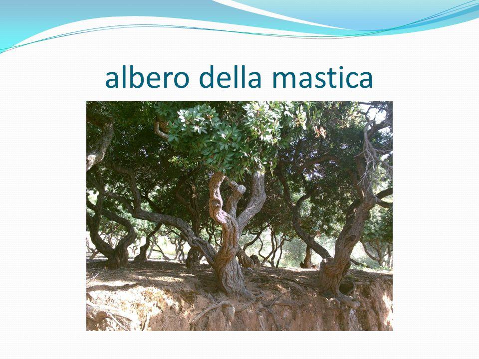 albero della mastica
