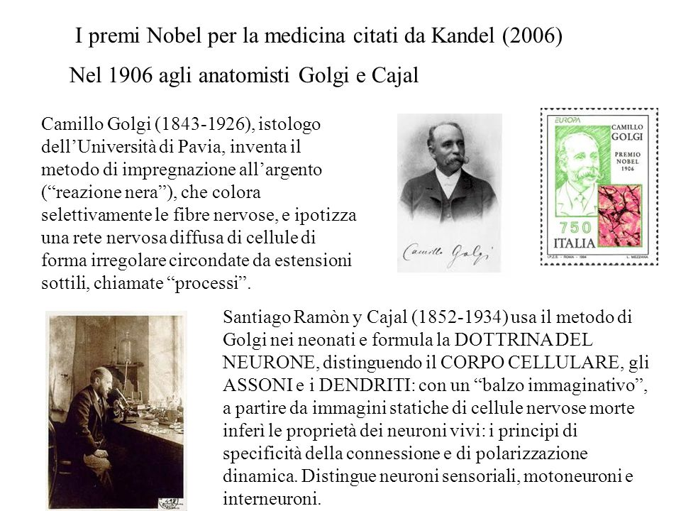 Nel 1906 agli anatomisti Golgi e Cajal Santiago Ramòn y Cajal (1852-1934) usa il metodo di Golgi nei neonati e formula la DOTTRINA DEL NEURONE, distinguendo il CORPO CELLULARE, gli ASSONI e i DENDRITI: con un balzo immaginativo , a partire da immagini statiche di cellule nervose morte inferì le proprietà dei neuroni vivi: i principi di specificità della connessione e di polarizzazione dinamica.