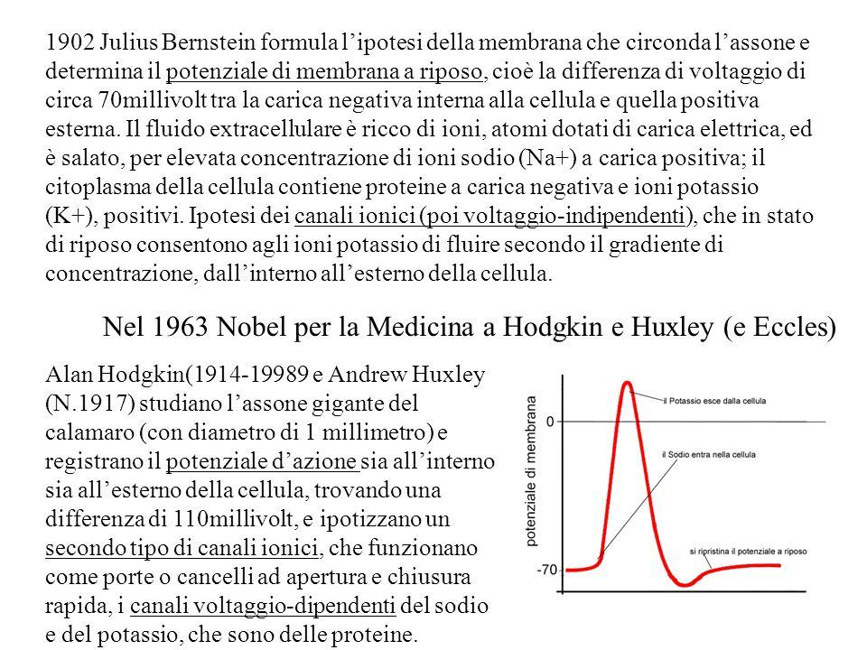 Alan Hodgkin(1914-19989 e Andrew Huxley (N.1917) studiano l'assone gigante del calamaro (con diametro di 1 millimetro) e registrano il potenziale d'azione sia all'interno sia all'esterno della cellula, trovando una differenza di 110millivolt, e ipotizzano un secondo tipo di canali ionici, che funzionano come porte o cancelli ad apertura e chiusura rapida, i canali voltaggio-dipendenti del sodio e del potassio, che sono delle proteine.
