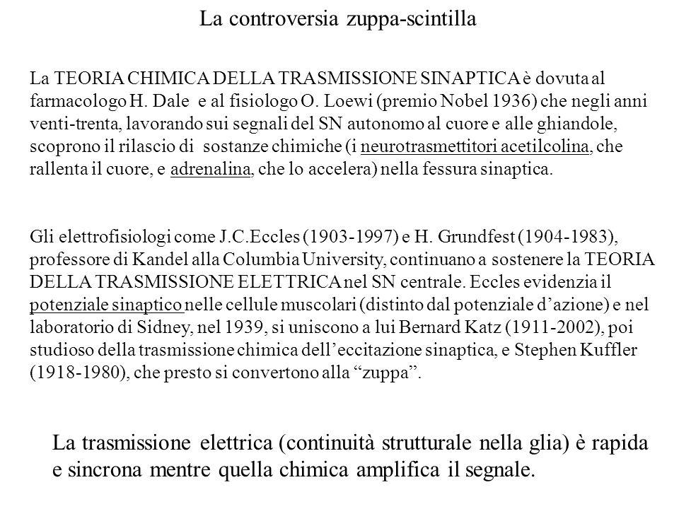 La controversia zuppa-scintilla La TEORIA CHIMICA DELLA TRASMISSIONE SINAPTICA è dovuta al farmacologo H. Dale e al fisiologo O. Loewi (premio Nobel 1