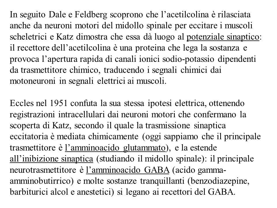 In seguito Dale e Feldberg scoprono che l'acetilcolina è rilasciata anche da neuroni motori del midollo spinale per eccitare i muscoli scheletrici e K