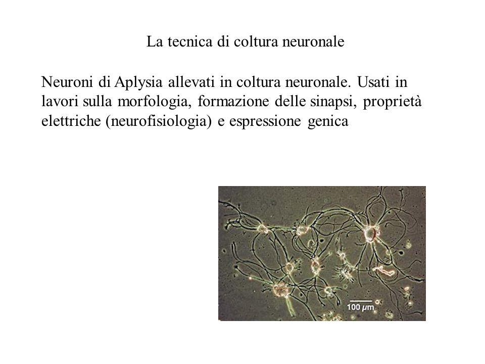 Neuroni di Aplysia allevati in coltura neuronale. Usati in lavori sulla morfologia, formazione delle sinapsi, proprietà elettriche (neurofisiologia) e