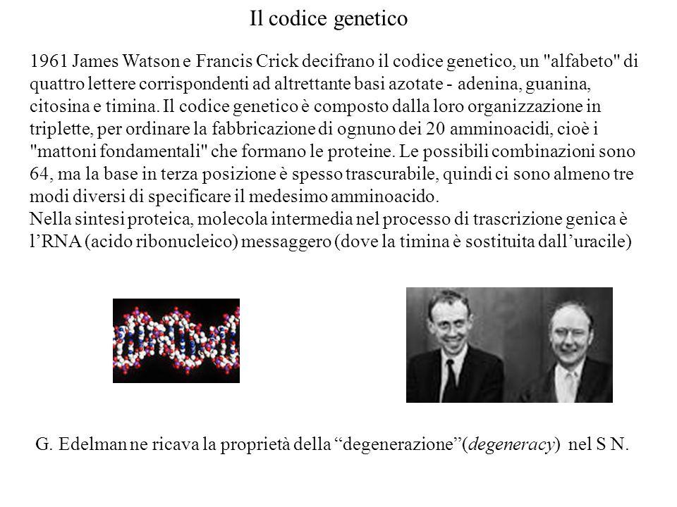 1961 James Watson e Francis Crick decifrano il codice genetico, un alfabeto di quattro lettere corrispondenti ad altrettante basi azotate - adenina, guanina, citosina e timina.