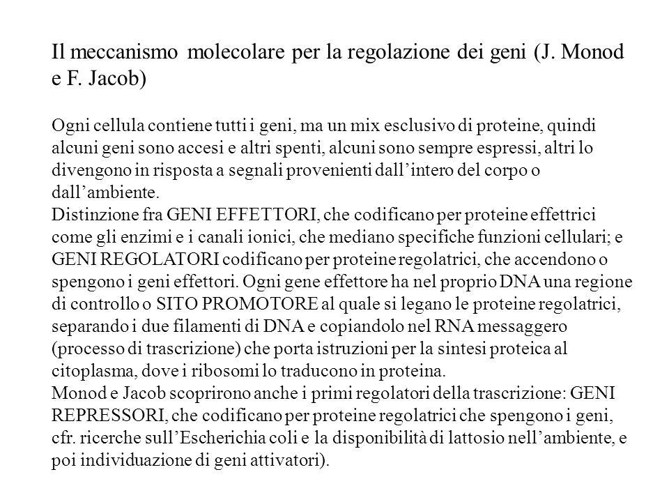 Il meccanismo molecolare per la regolazione dei geni (J. Monod e F. Jacob) Ogni cellula contiene tutti i geni, ma un mix esclusivo di proteine, quindi