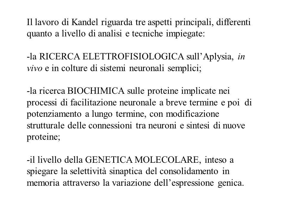 Il lavoro di Kandel riguarda tre aspetti principali, differenti quanto a livello di analisi e tecniche impiegate: -la RICERCA ELETTROFISIOLOGICA sull'
