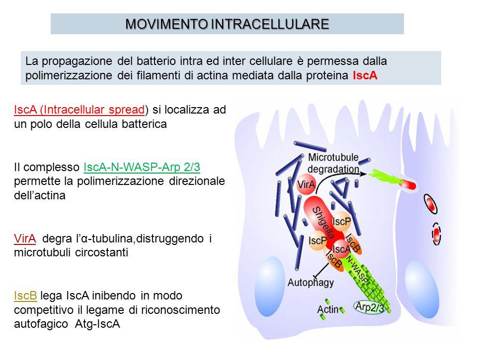 MOVIMENTO INTRACELLULARE La propagazione del batterio intra ed inter cellulare è permessa dalla polimerizzazione dei filamenti di actina mediata dalla proteina IscA IscA (Intracellular spread) si localizza ad un polo della cellula batterica Il complesso IscA-N-WASP-Arp 2/3 permette la polimerizzazione direzionale dell'actina VirA degra l'α-tubulina,distruggendo i microtubuli circostanti IscB lega IscA inibendo in modo competitivo il legame di riconoscimento autofagico Atg-IscA