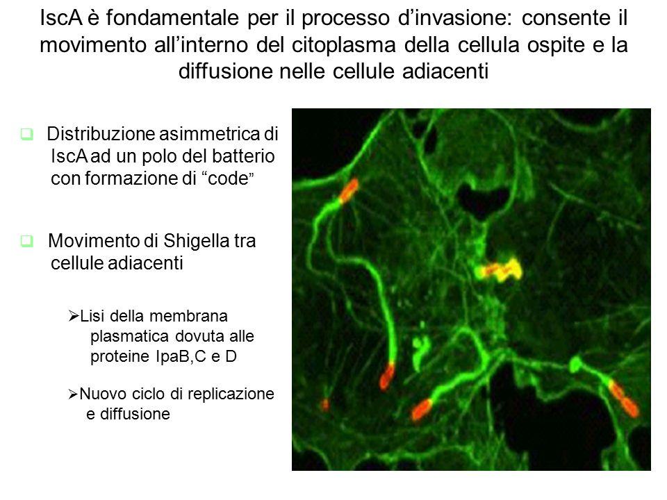 IscA è fondamentale per il processo d'invasione: consente il movimento all'interno del citoplasma della cellula ospite e la diffusione nelle cellule adiacenti  Distribuzione asimmetrica di IscA ad un polo del batterio con formazione di code  Movimento di Shigella tra cellule adiacenti  Lisi della membrana plasmatica dovuta alle proteine IpaB,C e D  Nuovo ciclo di replicazione e diffusione