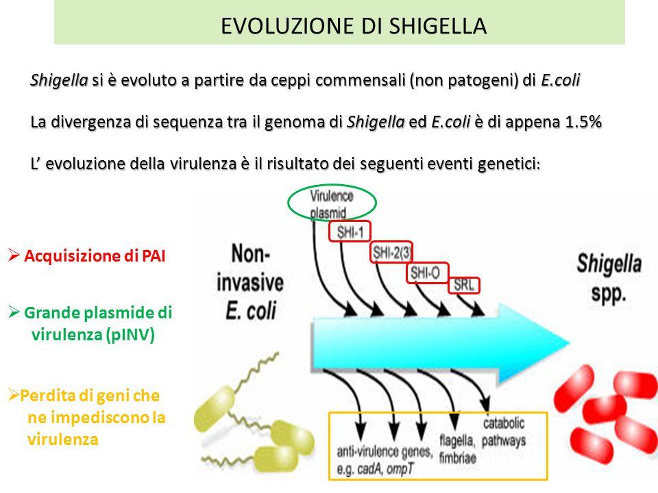 EVOLUZIONE DI SHIGELLA Shigella si è evoluto a partire da ceppi commensali (non patogeni) di E.coli La divergenza di sequenza tra il genoma di Shigella ed E.coli è di appena 1.5% L' evoluzione della virulenza è il risultato dei seguenti eventi genetici :  Acquisizione di PAI  Grande plasmide di virulenza (pINV)  Perdita di geni che ne impediscono la virulenza