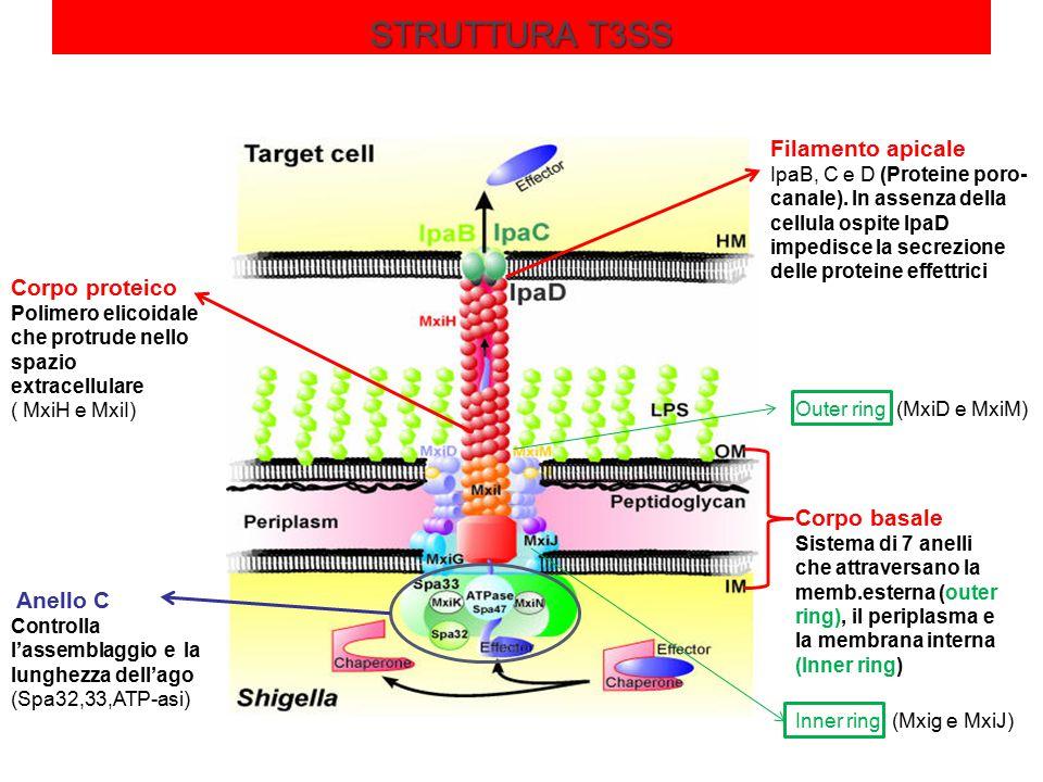 STRUTTURA T3SS Corpo basale Sistema di 7 anelli che attraversano la memb.esterna (outer ring), il periplasma e la membrana interna (Inner ring) Outer ring (MxiD e MxiM) Inner ring (Mxig e MxiJ) Anello C Controlla l'assemblaggio e la lunghezza dell'ago (Spa32,33,ATP-asi) Corpo proteico Polimero elicoidale che protrude nello spazio extracellulare ( MxiH e MxiI) Filamento apicale IpaB, C e D (Proteine poro- canale).