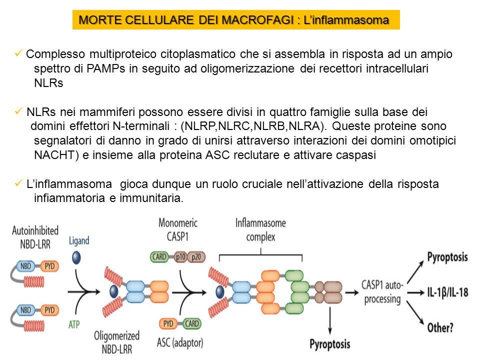 MORTE CELLULARE DEI MACROFAGI : L'inflammasoma Complesso multiproteico citoplasmatico che si assembla in risposta ad un ampio spettro di PAMPs in seguito ad oligomerizzazione dei recettori intracellulari NLRs NLRs nei mammiferi possono essere divisi in quattro famiglie sulla base dei domini effettori N-terminali : (NLRP,NLRC,NLRB,NLRA).