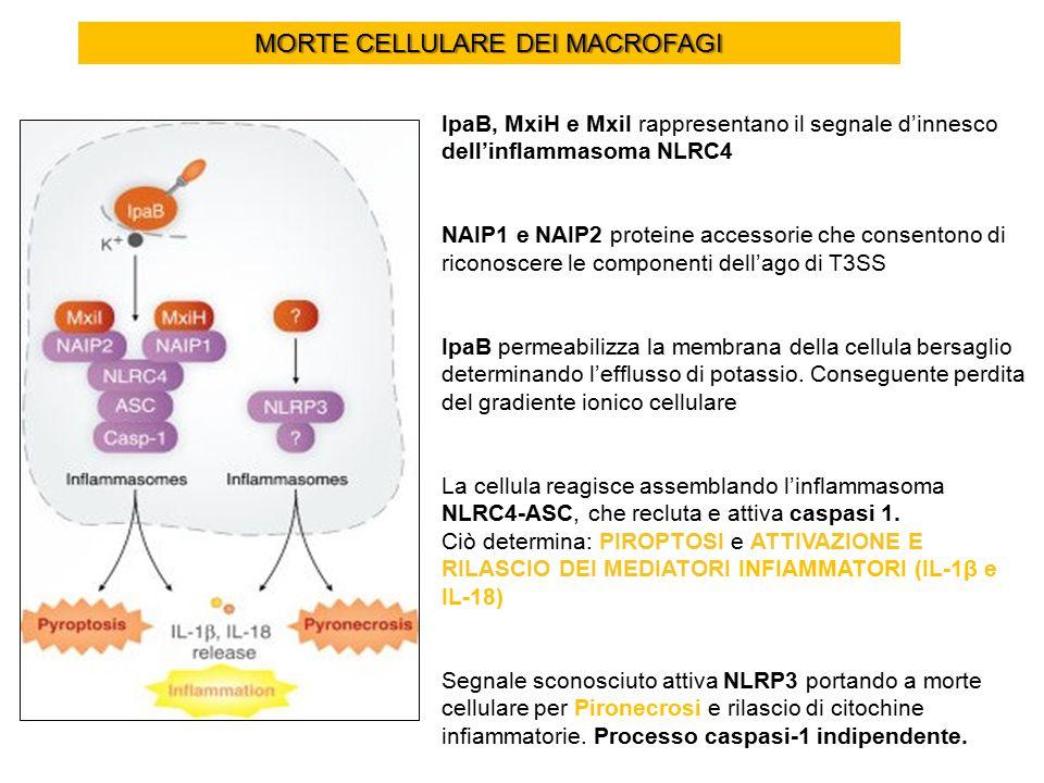 MORTE CELLULARE DEI MACROFAGI IpaB, MxiH e MxiI rappresentano il segnale d'innesco dell'inflammasoma NLRC4 NAIP1 e NAIP2 proteine accessorie che consentono di riconoscere le componenti dell'ago di T3SS IpaB permeabilizza la membrana della cellula bersaglio determinando l'efflusso di potassio.